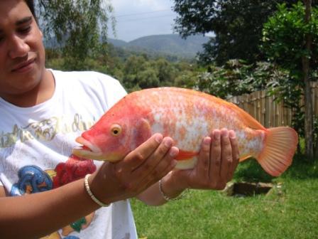 Cuba impulsa la cr a en el mar de un pescado de agua dulce for Cria de tilapia